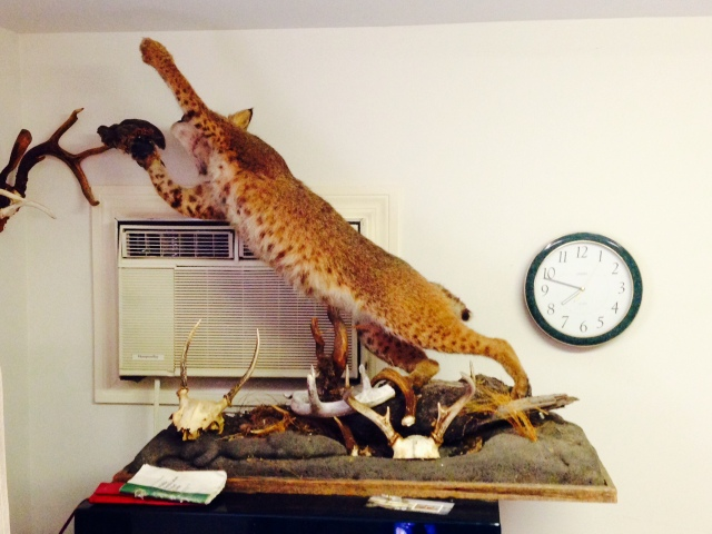 The bobcat in all its glory!